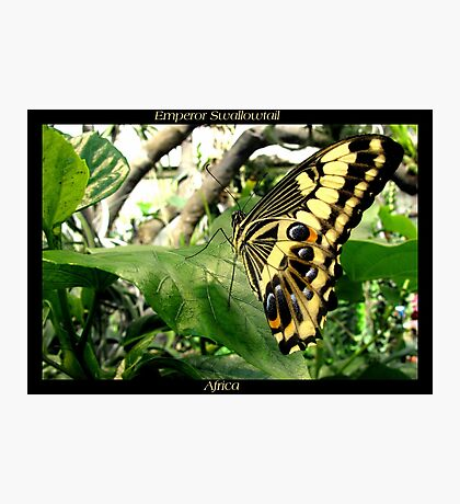 Butterfly (Africa) ~ Emperor Swallowtail Photographic Print