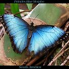 Butterfly (South America) ~ Peleides Blue Morpho II by Kimberly Chadwick