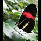 Butterfly (South America) ~ Red Postman II by Kimberly Chadwick