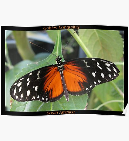 Butterfly (South America) ~ Golden Longwing II Poster