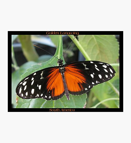 Butterfly (South America) ~ Golden Longwing II Photographic Print