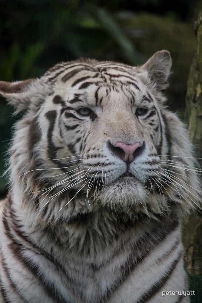 white tiger by peter wyatt