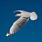 Flying Gull by Mark  Lucey