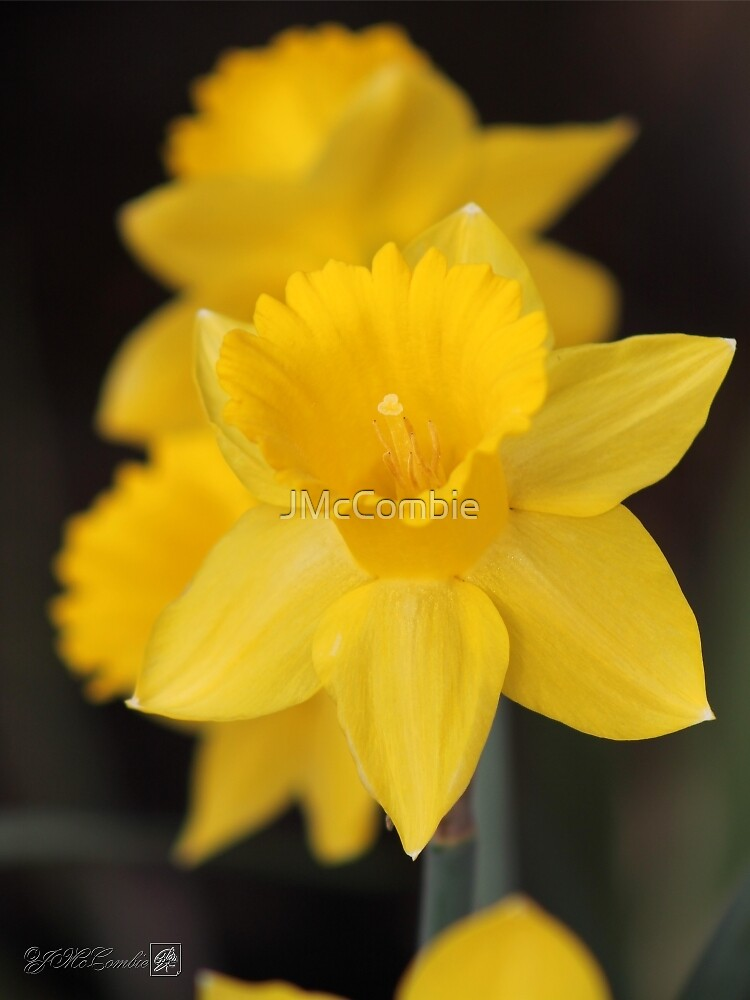 Daffodil named Exception by JMcCombie