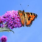 Small Tortoiseshell Butterfly (Aglais urticae) by Michaela1991