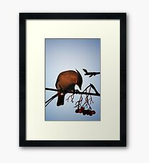 Bohemian Waxwing contemplating a mountain ash berry Framed Print