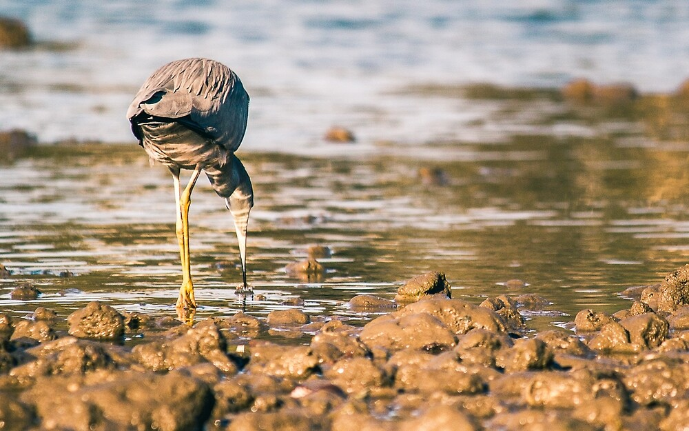 White-Faced Heron by Zac Harney