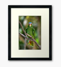 White Fronted Spectacled Amazon Parrot on Branch Framed Print