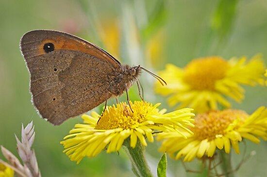 Meadow Brown Butterfly by Heidi Stewart