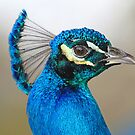 Wild peacock up close by Anthony Goldman