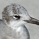 Laughing gull portrait in black and white! by Anthony Goldman