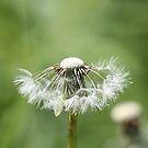 Blowing in the wind, Dandelions by kremphoto