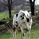 Holstein Cow standing in field by kremphoto