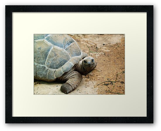 Aldabra Giant Tortoise of the Seychelles by HotHibiscus