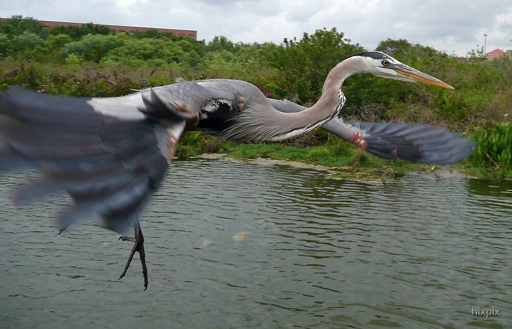 Great Blue Heron Flyby by hixpix
