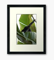 Cute Baby Black Howler Monkey Feeding on a Leaf Framed Print