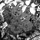 Roses in Infrared 2 by Andrew Brockinton