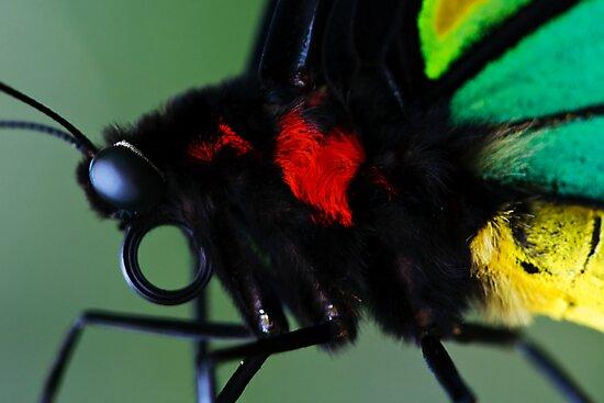 Cairns Birdwing II by Damienne Bingham