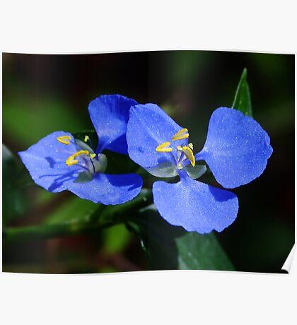 Pretty Cobalt Blue! Poster