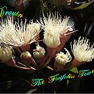 Ficifolia Flowers, White - Drouin Gippsland by Bev Pascoe