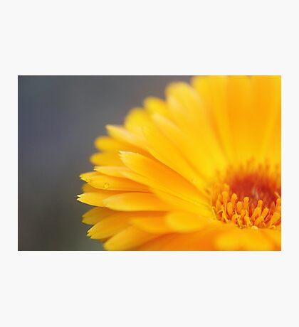 Orange Daisy Love Photographic Print