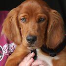 Puppy Seamus by SetterSmiles