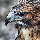 Step Eagle ~ Portrait by Sandra Cockayne