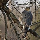 Coopers Hawk by Michael  Dreese