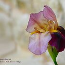 Iris - February Birth Flower by Pamela Jayne Smith