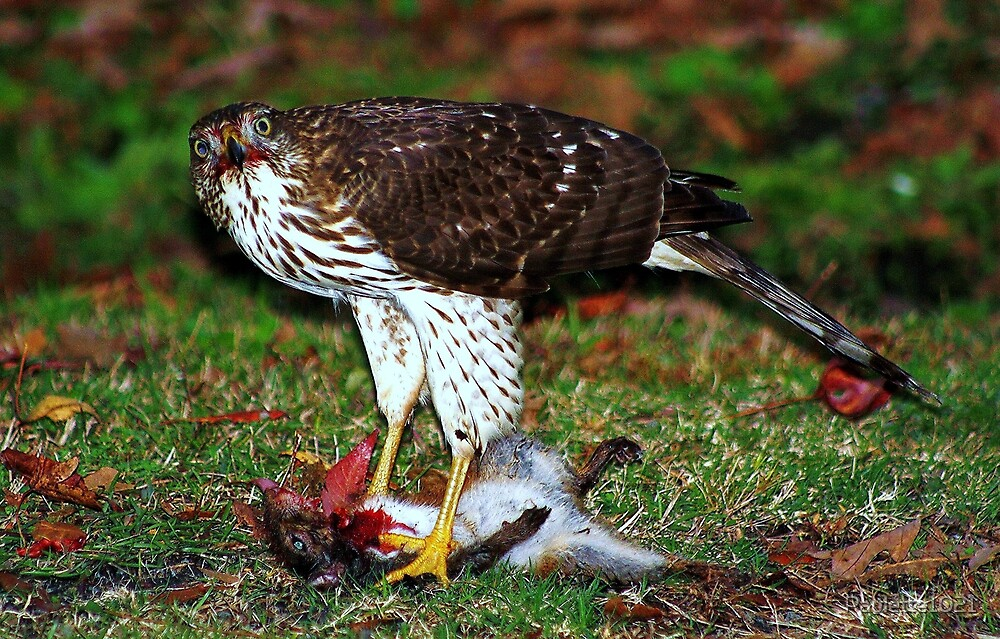 Hawk with his Prized Prey by Paulette1021