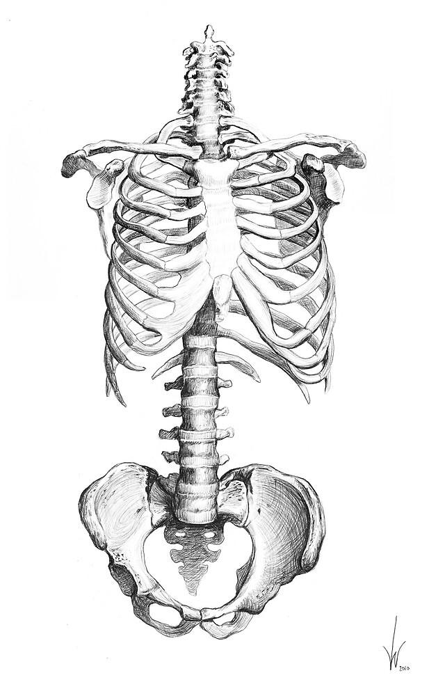Partial Human Skeleton by Mawsh