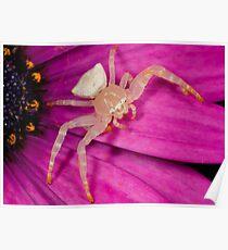 White crab spider on purple flower Poster