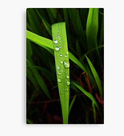 raindrops on grassblade Canvas Print