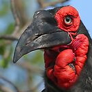 Ground Hornbill by jozi1