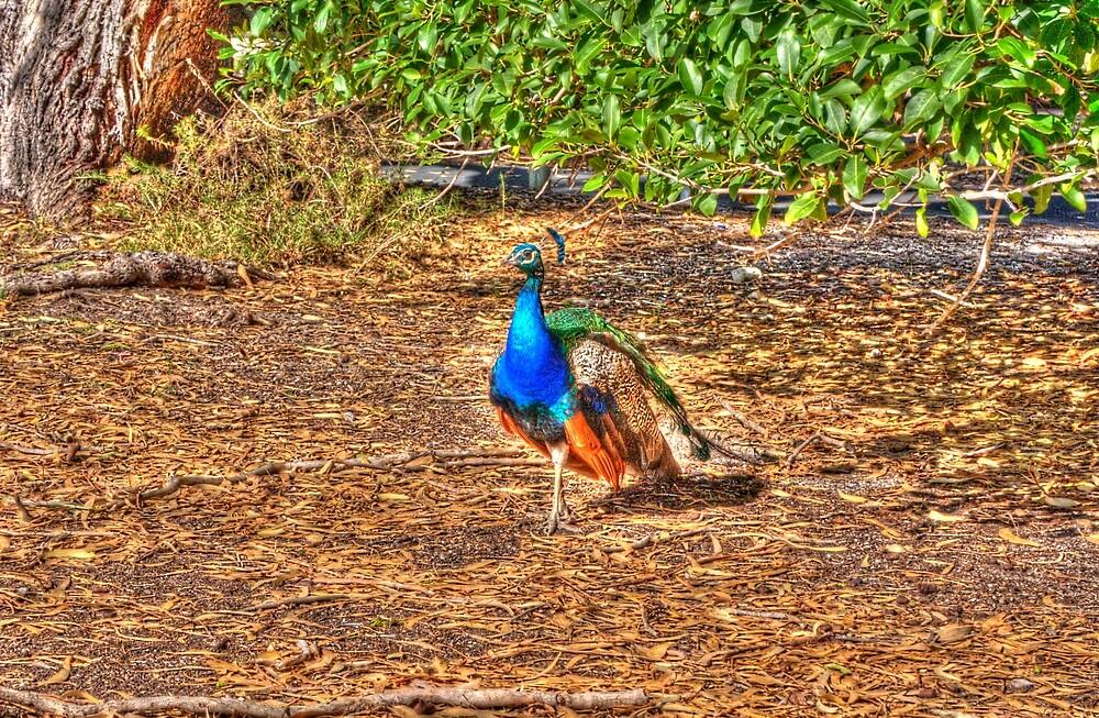 Peacock by Daniel Rayfield