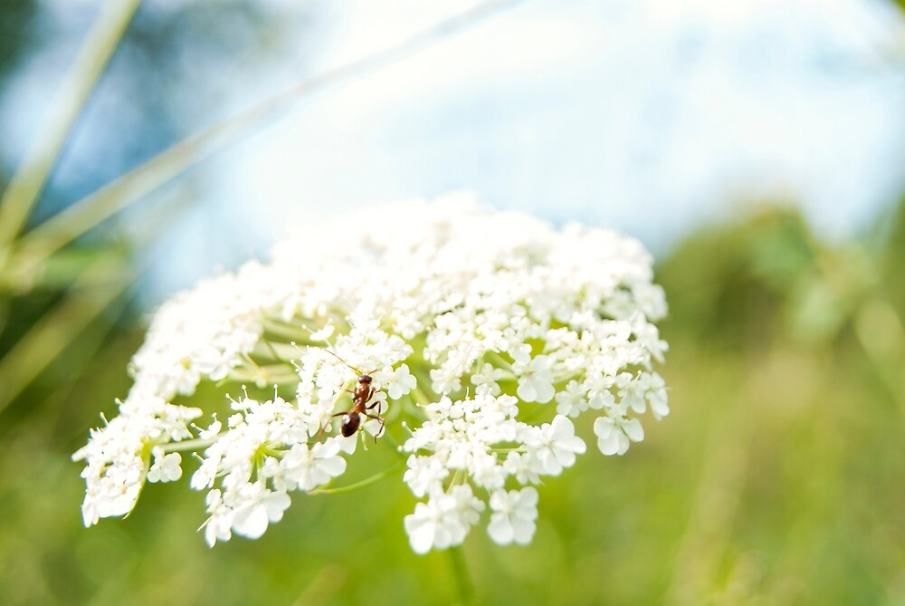 Ant on White Flower by Dyan Bermeo