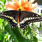 Black Swallowtail by MarianBendeth