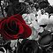 Selective Color Roses