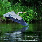 Blue Heron by Diane Blastorah