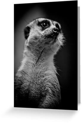 Meerkat doing his best Rudolph Valentino by alan shapiro