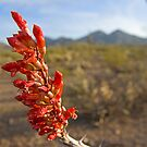Ocotillo Bloom by Sue  Cullumber