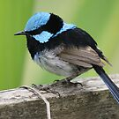 Superb Blue Wren by BronReid