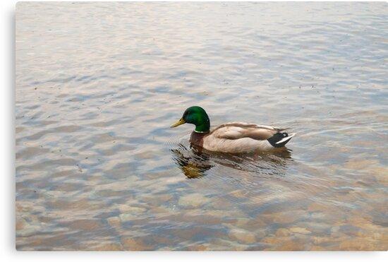 Mallard Duck by Erin Bailey
