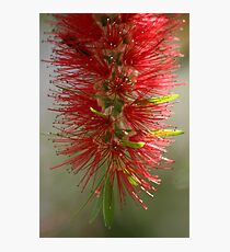 Bottle brush tree Photographic Print