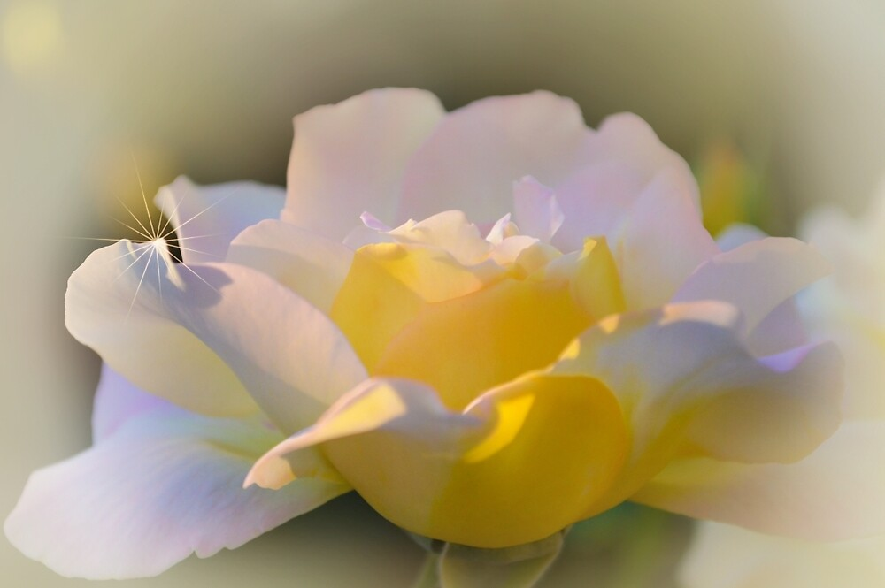 Yellow Rose by Olimpia Negura