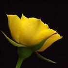 Rose   IX. by jimmylu