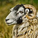 Swaledale Sheep by Guy Carpenter
