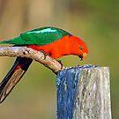 Male King Parrot in our back yard. Brisbane, Queensland, Australia. by Ralph de Zilva