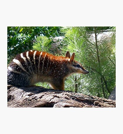 Numbat Photographic Print
