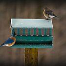 Blue Birds by Diana Nault